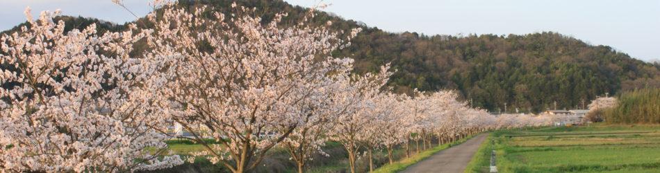 山田川桜並木